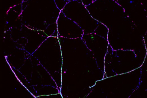 Bart Niewenhuis - Autaptic neurons - Neuroscience Campus Amsterdam